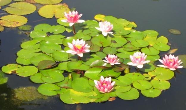 Elegir plantas para estanques algunos consejos for Plantas para estanques