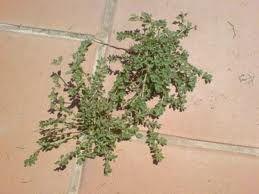 eliminar malas hierbas fundaci ilersis