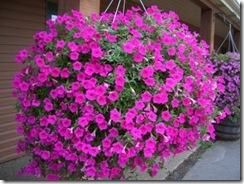 esta planta es otra clsica entre las plantas para macetas colgadas produce flores de forma abundante al igual que en las plantas anteriores hay que