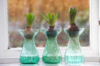 Forzar bulbos de oto o en el interior fundaci ilersis for Jacinto planta interior
