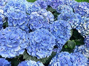 Algunas flores azules para el jard n fundaci ilersis - Cuando podar las hortensias ...