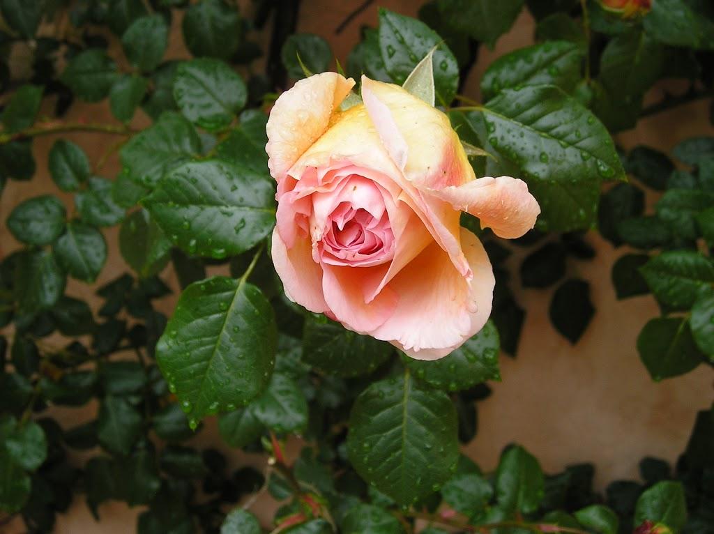 Mi rosal abraham darby fundaci ilersis for Viveros el rosal