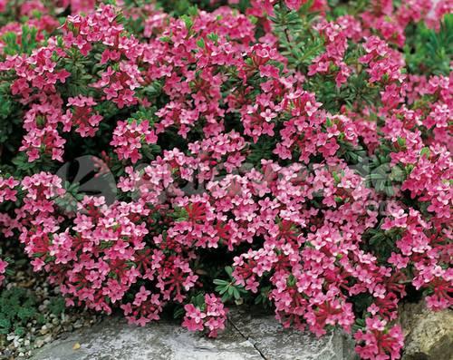 Elegir plantas para jardines de rocalla fundaci ilersis for Plantas para rocallas