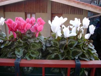 Flores para dar color en oto o jardindecora flores y plantas for Plantas de invierno para interior