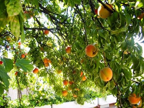 Rboles frutales en el huerto fundaci ilersis for Arboles que dan sombra para jardin