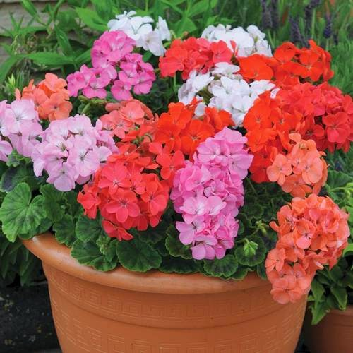 Cinco flores de verano para macetas jardindecora flores - Flores de maceta ...