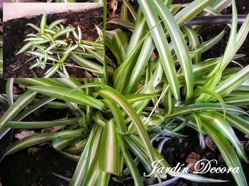 cultivar cintas en el jard n fundaci ilersis On cintas plantas variedades