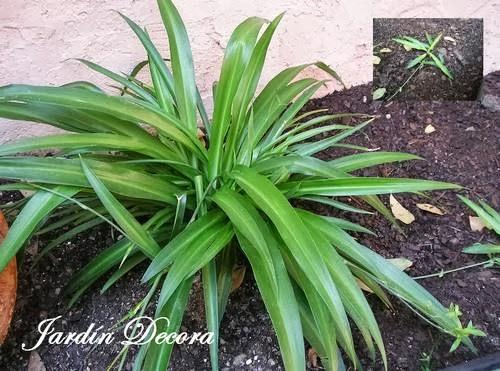 Cultivar cintas en el jard n fundaci ilersis - Plantas de interior cintas ...