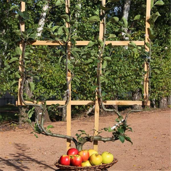 Frutales en espaldera para jardines peque os fundaci - Arboles pequenos para jardin ...