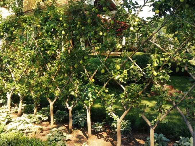 Frutales en espaldera para jardines peque os fundaci - Arboles para jardines pequenos ...