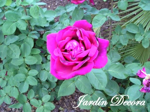 Chupones del rosal jard ndecora jardiner a flores y for Jardineria rosales