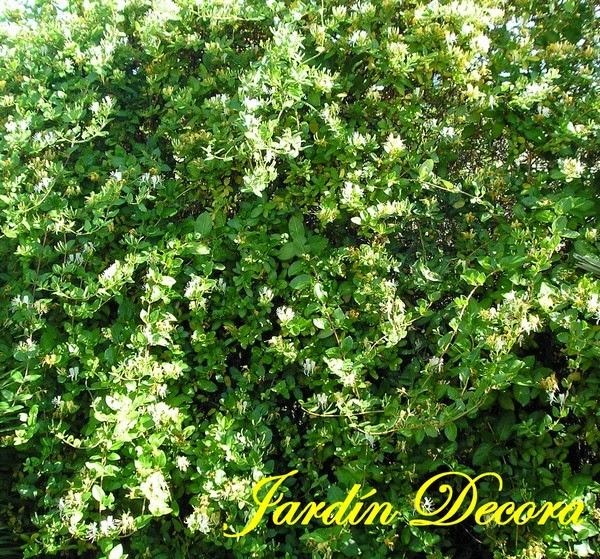 Cubrir una valla met lica con madreselva jardindecora - Plantas para vallas ...