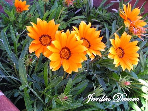 Flores-de-gazania-para-mi-jard-C3-ADn