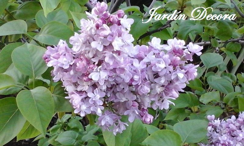lilo o lila, arbusto floreciendo | fundació ilersis