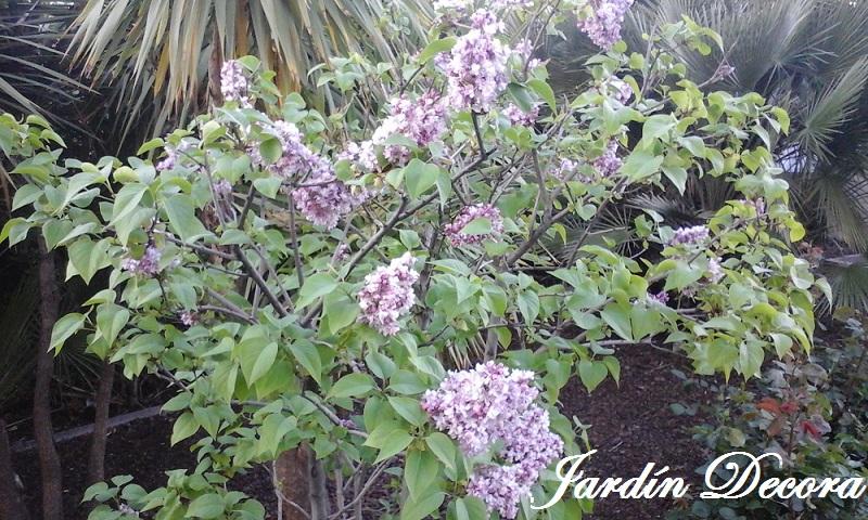 Lilo o lila arbusto floreciendo fundaci ilersis for Jardin lilo