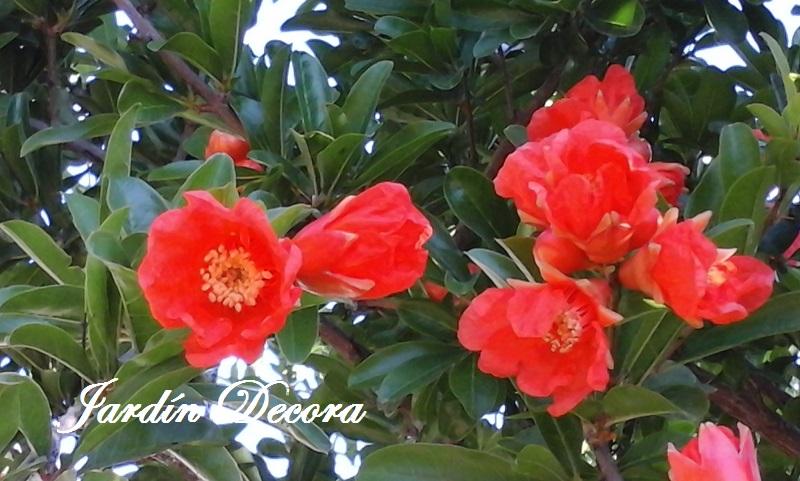 Rboles para jardines peque os el granado jardindecora for Plantas en jardines pequenos