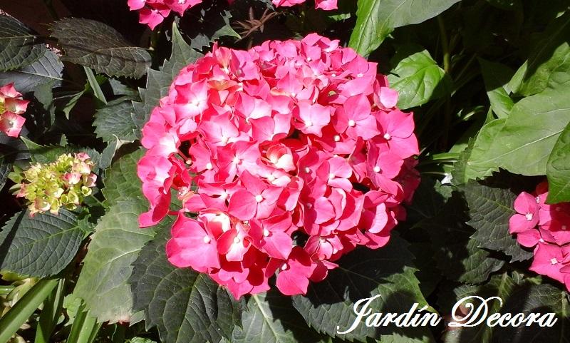 cuidados de las hortensias fundaci ilersis