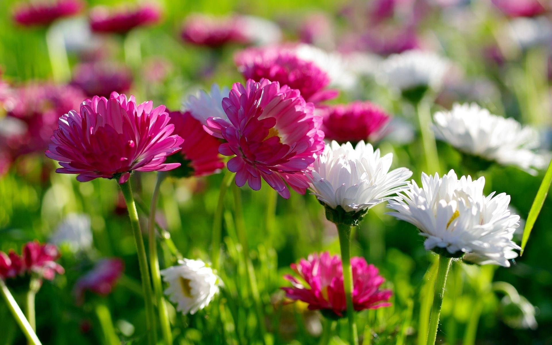 Resultado de imagen para Crisantemo Flor