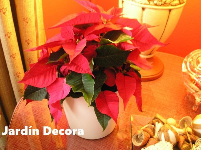 Como cuidar la poinsettia flor de pascua - Cuidados planta navidad ...