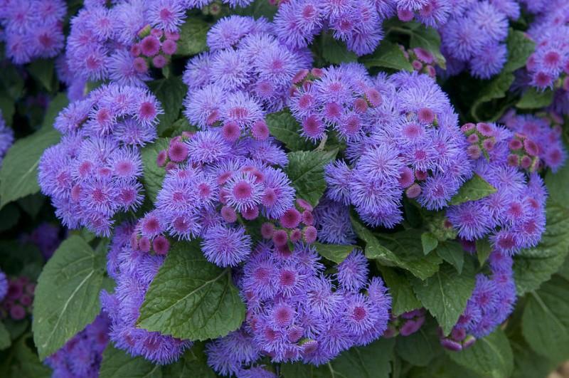 las mejores flores de primavera Ageratum houstonianum, Agerato