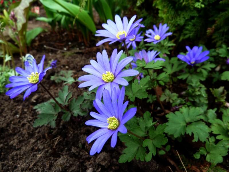 las mejores flores de primavera Anémone blanda, Anémona