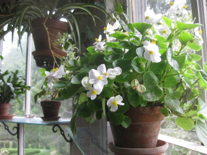 las mejores flores de primavera Begonia semperflorens, hermosa