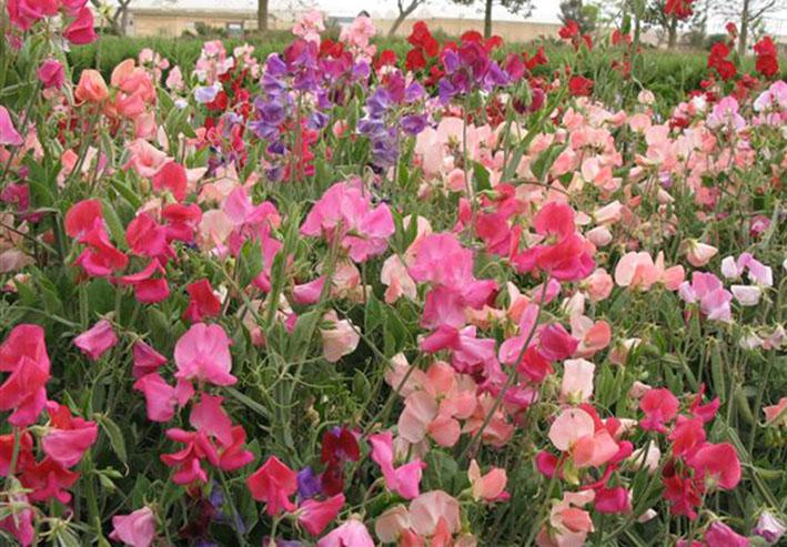 las mejores flores de primavera Lathyrus odoratus, Guisante de olor