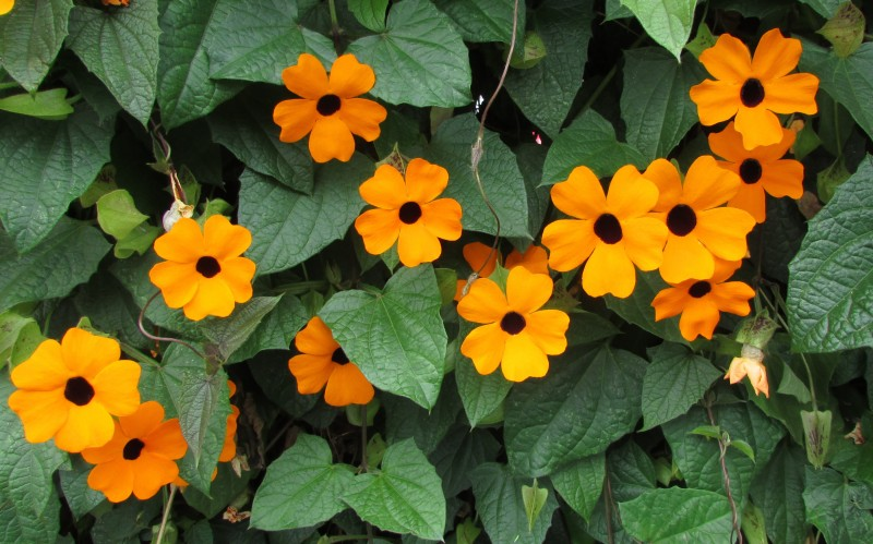 las mejores flores de primavera Thumbergia alata, Ojo de poeta