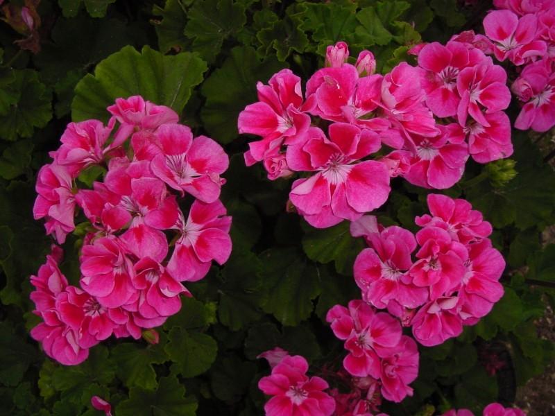 las mejores flores de primavera, pelargonium, geranios
