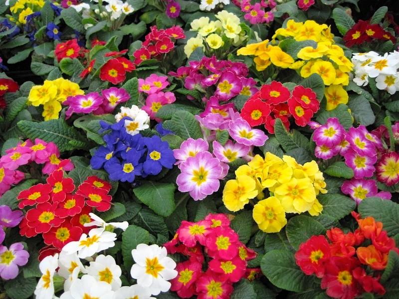 las mejores flores de primavera, primulas, primaveras