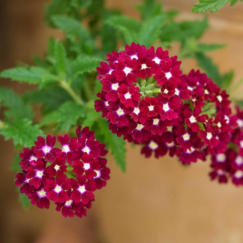 las mejores flores de primavera verbena