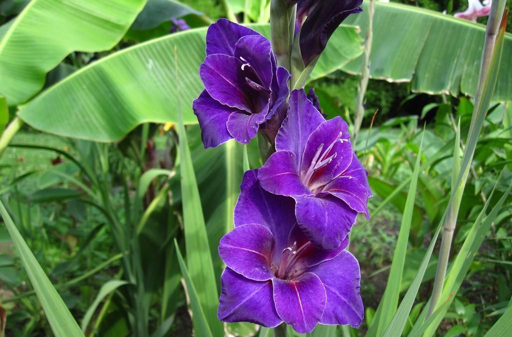 Como Plantar y Cultivar Gladiolos
