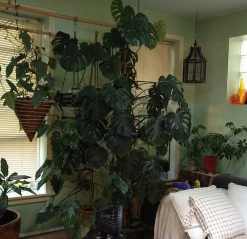 costilla de Adán, plantas de interior que necesitan poca luz