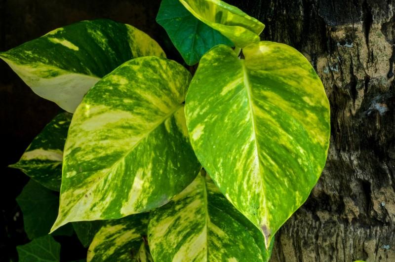 poto, plantas de interior que necesitan poca luz