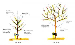 como podar los árboles frutales, poda de formación