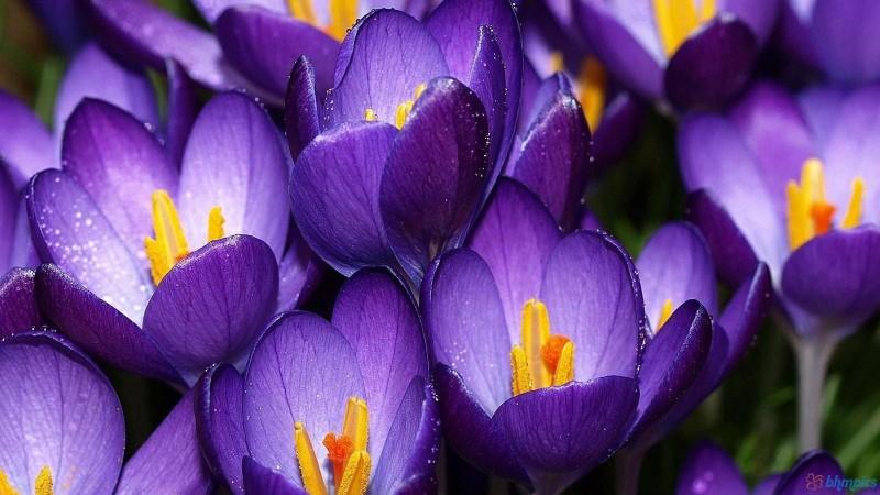 las mejores flores de primavera crocus