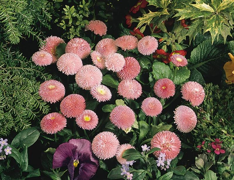 las mejores flores de primavera Bellis perennis, Margarita menor, Bellorita