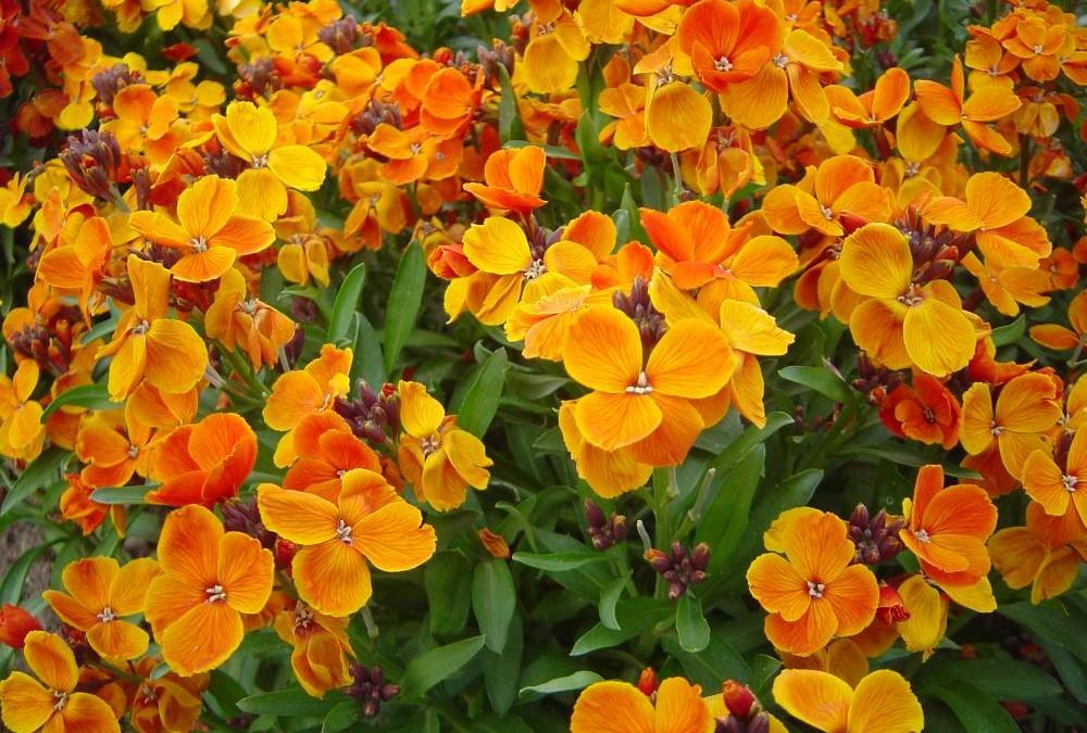 las mejores flores de primavera Cheiranthus cheiri, Alhelí