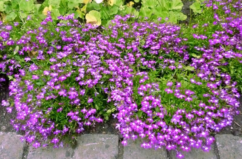 las mejores flores de primavera Lobelia erinus, Lobelia
