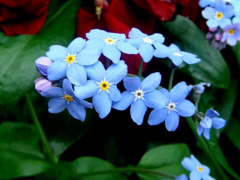 las mejores flores de primavera Myosotis sylvatica, Nomeolvides