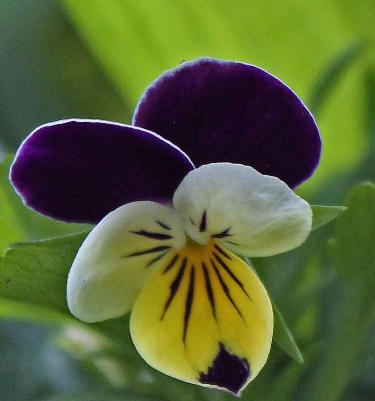 las mejores flores de primavera Viola Wittrockiana, Viola tricolor, Pensamiento
