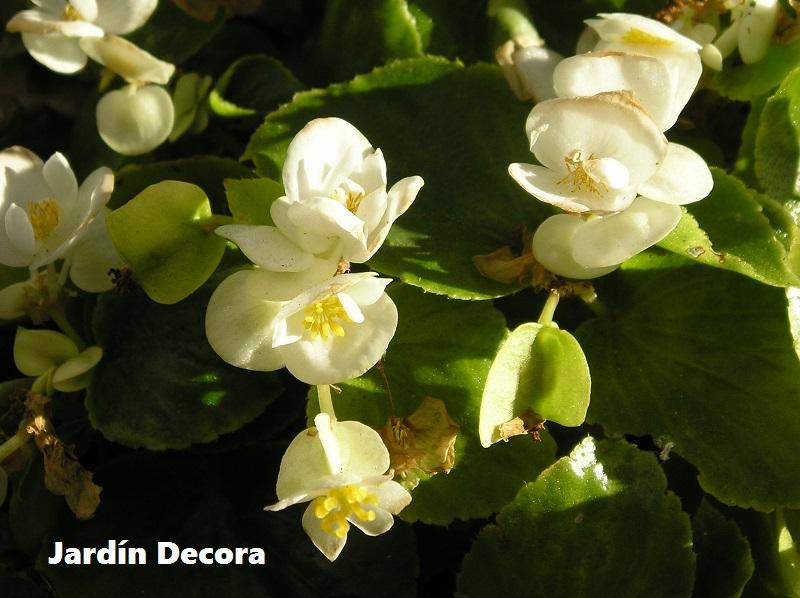 Tipos de Begonias