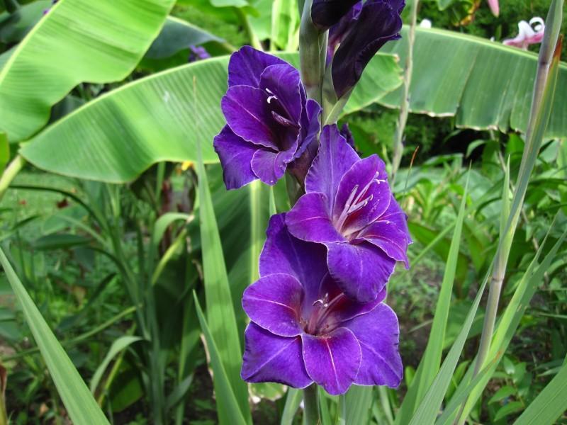 como plantar y cultivar gladiolos en el jardín