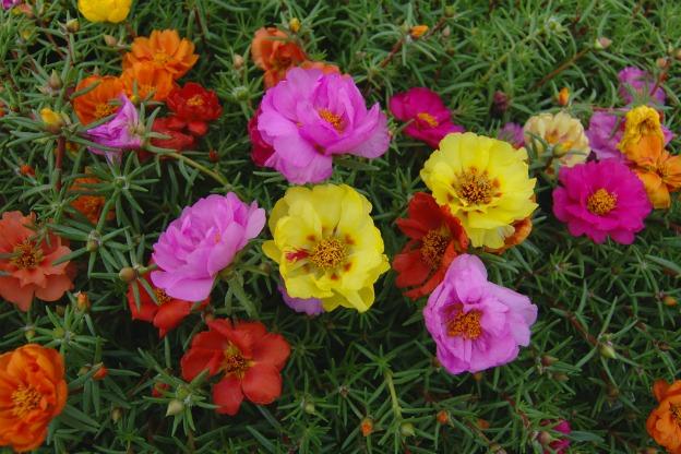 5 Crasas Tapizantes o Plantas Cubresuelos