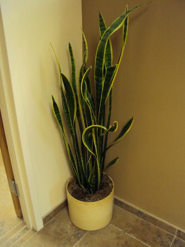 4 plantas de interior que necesitan poca luz fundaci - Plantas de interior que necesitan poca luz ...