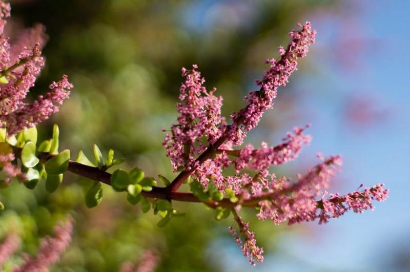 árbol de la abundancia en flor