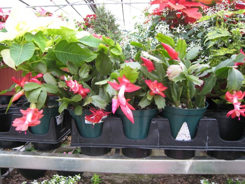 cactus de navidad flores