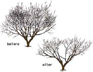 como podar árboles frutales, poda de limpieza
